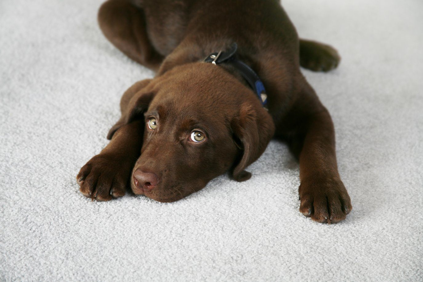 Pet Stain Removal   Dynamic Carpet Care
