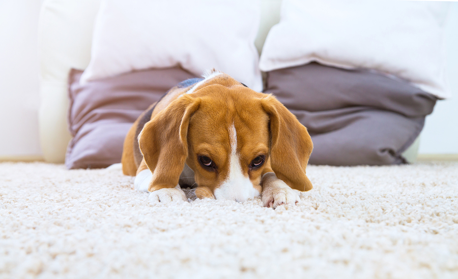 Oops Pets Stains 3 Ways to Manage Pet Stains Dynamic  : Pet Stains from www.dynamiccarpetcarellc.com size 900 x 549 jpeg 346kB