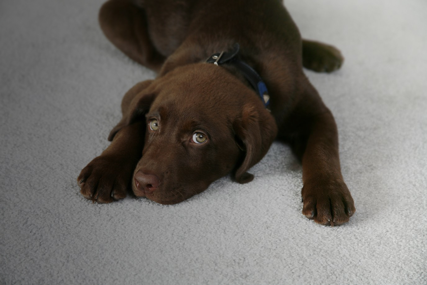 Pet Stain Removal | Dynamic Carpet Care